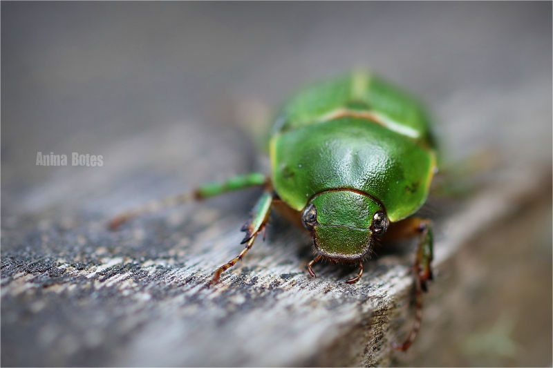 Bug, Green, 50mm, Macro