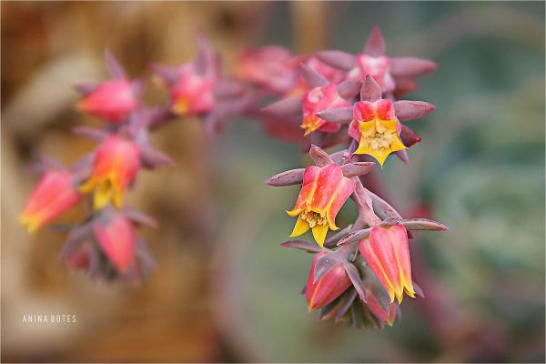 Flower, succulent, macro