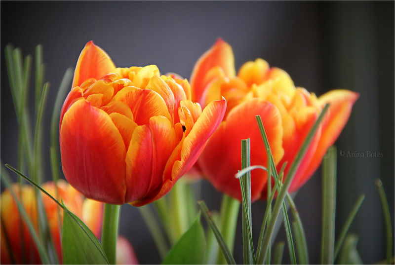 Tulips, flowers, orange, yellow