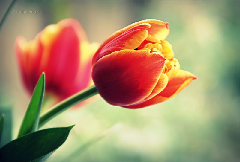 Tulips, Flowers, Colorspotlight