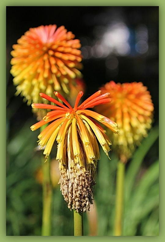 Flower, Orange, 50mm