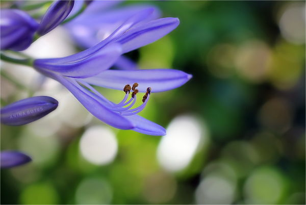 Flower, Lilac, Green, Bokeh
