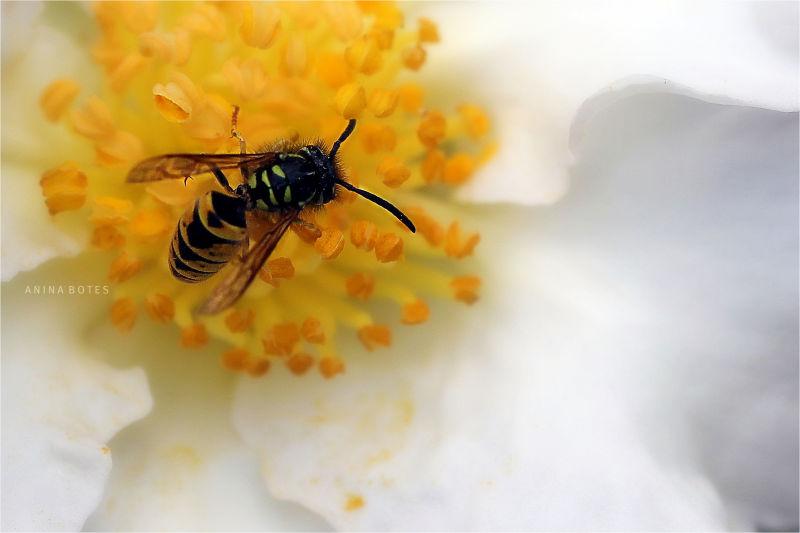 Bee, Wasp, Flower, Macro, 50mm