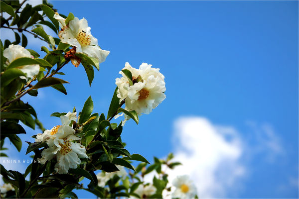 White, Flower, Autumn, Blue, Sky