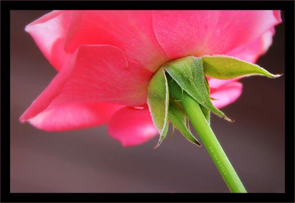 Macro, Rose, Pink, Green