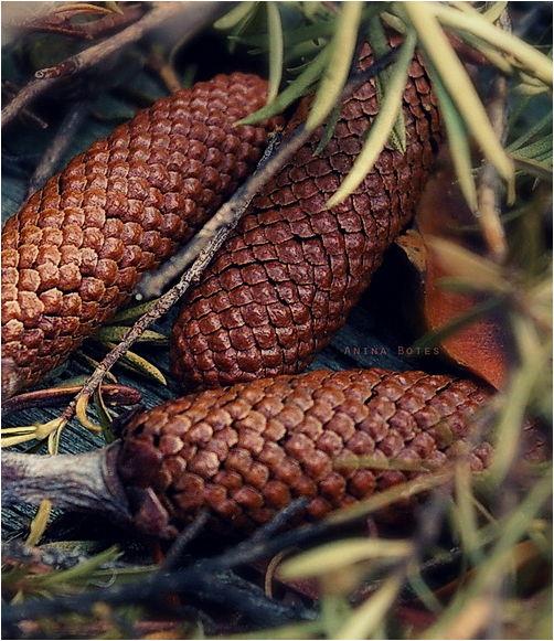 cones, winter,