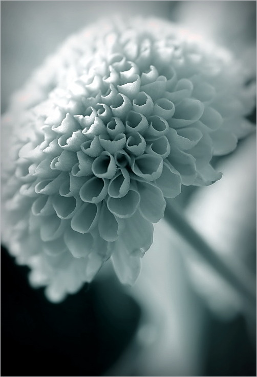 macro, flower