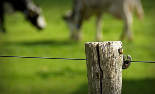 DOF, Fence, Green, Cows