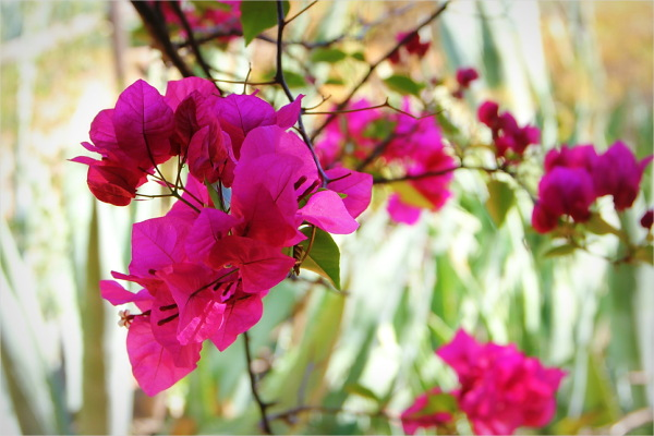pinks, flower