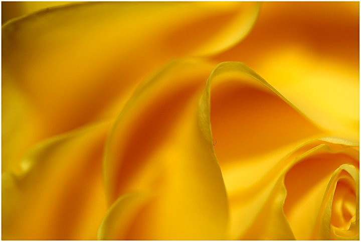 rose, yellow, macro