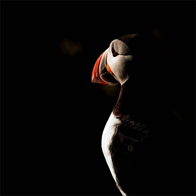 bird, puffin, spotlight