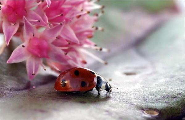flower, ladybug