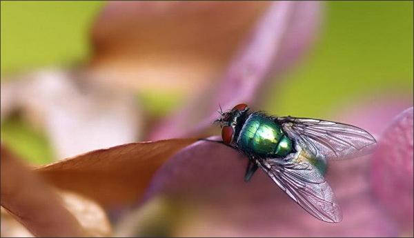 fly, macro, 50mm