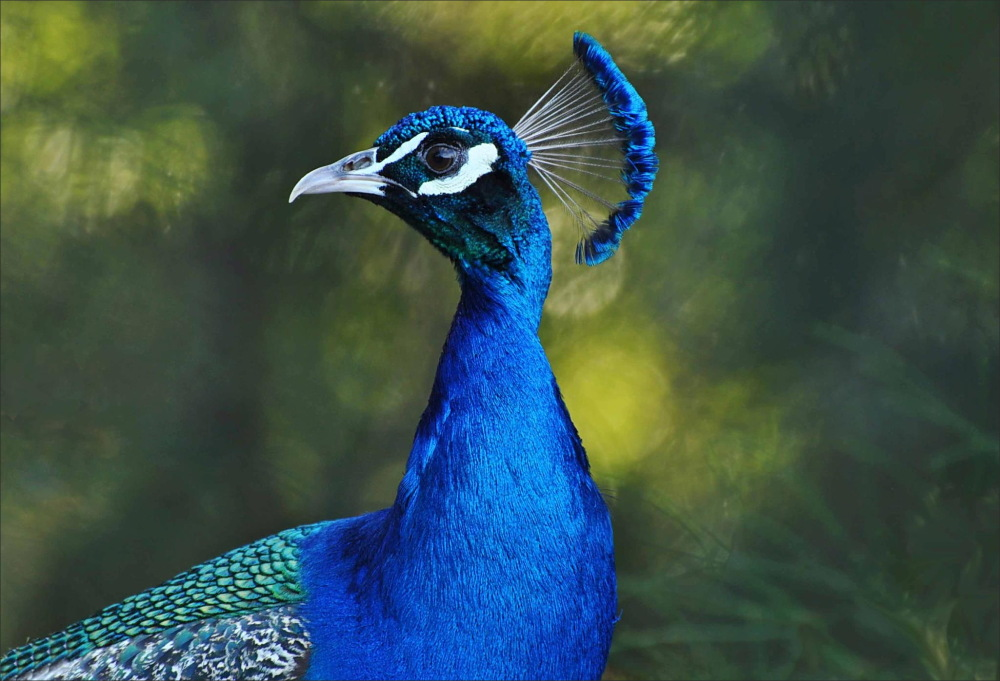 bird, peacock, blue