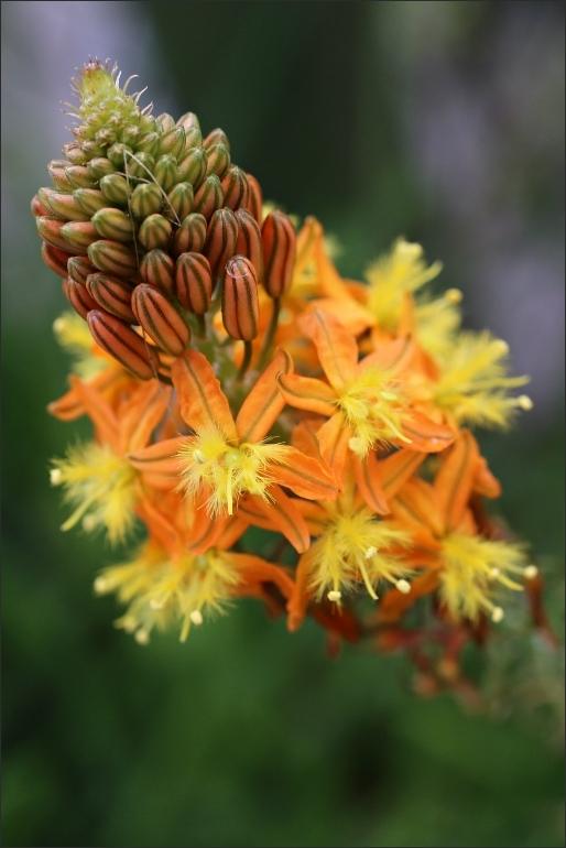 flower, macro, 50mm, 6D