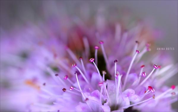 purple, flower, macro, 50mm