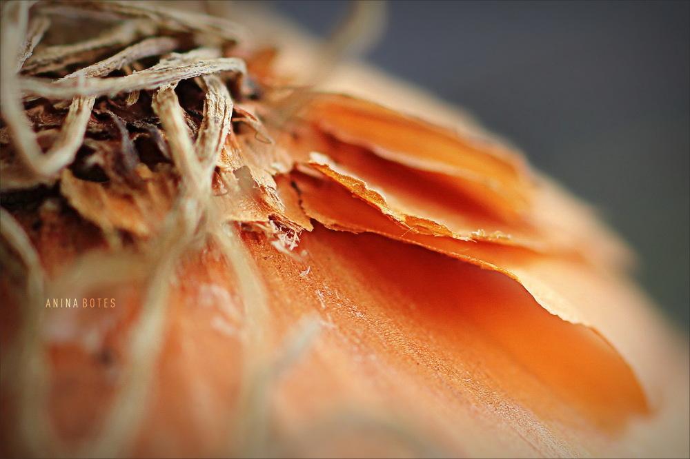 onion, macro, 50mm