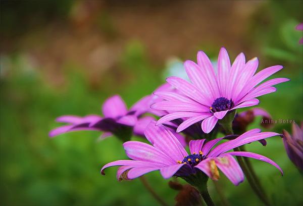daisies, purple