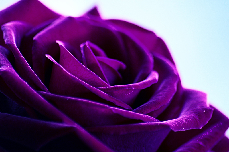 rose, purple