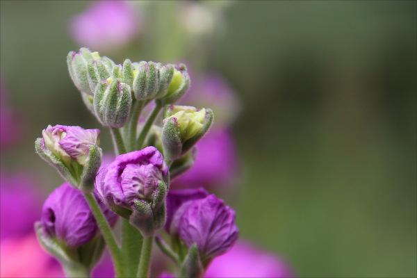 flower, purple