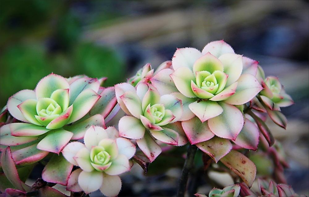 plant, succulent