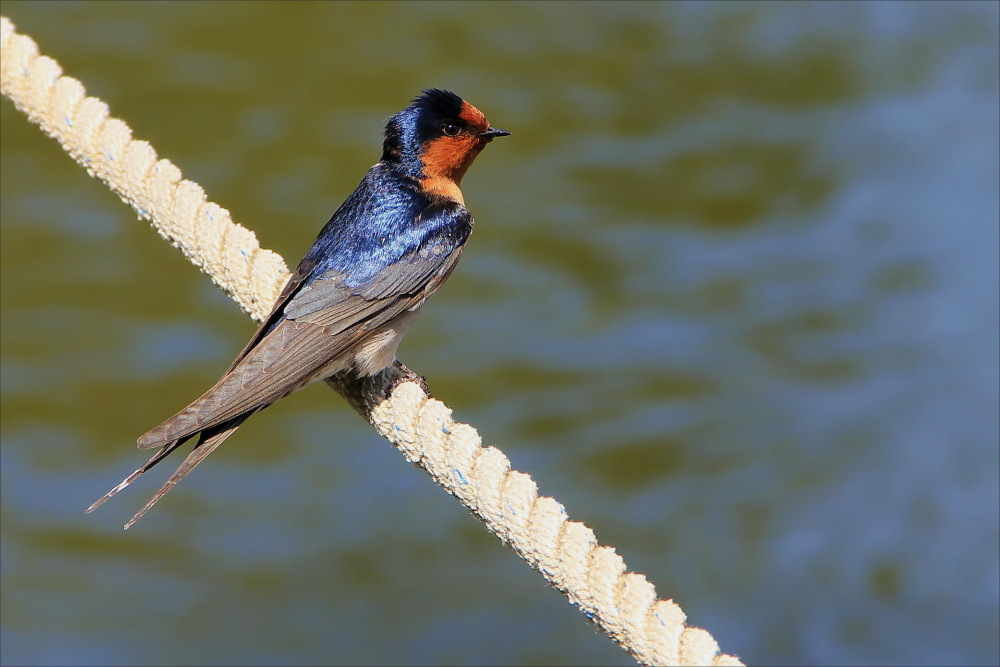 bird, swallow