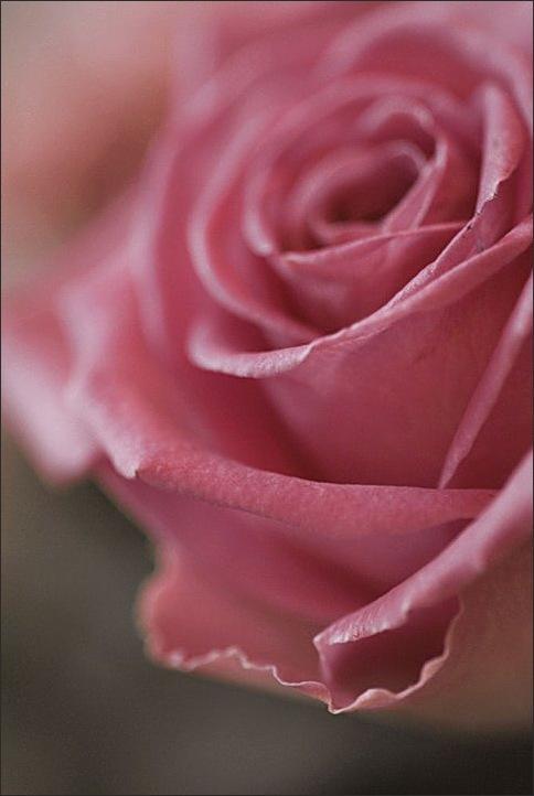 rose, pink, macro