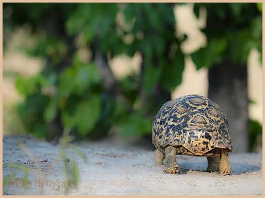 Schildpad (Turtle)