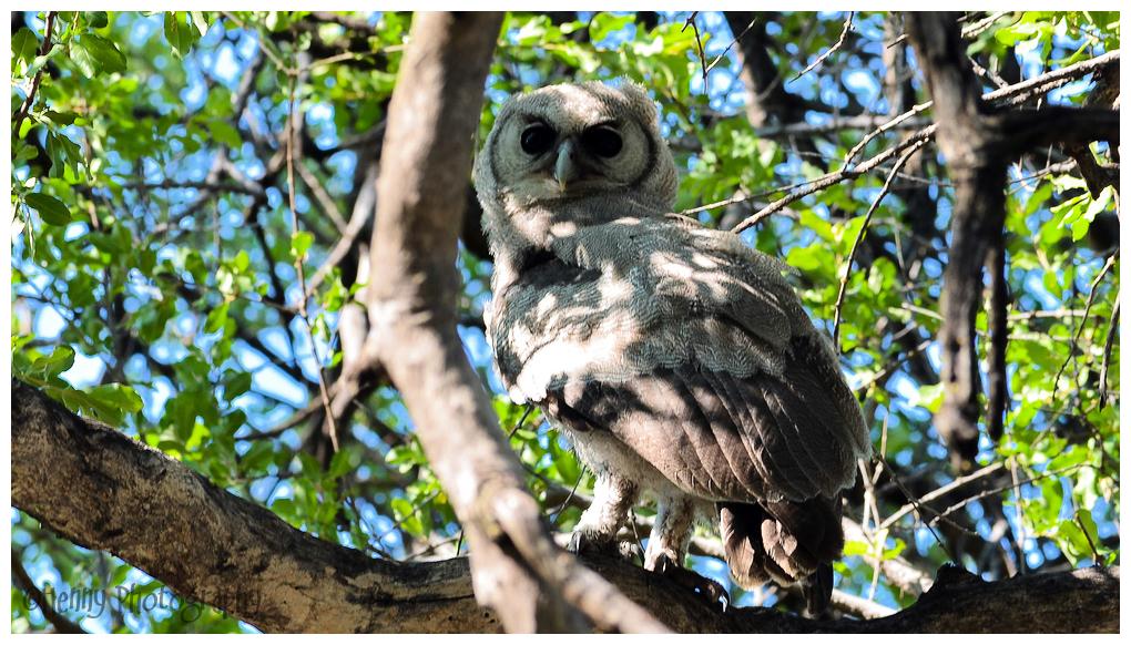 Uil / Owl