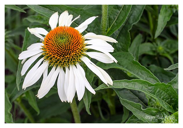 Echinacea white