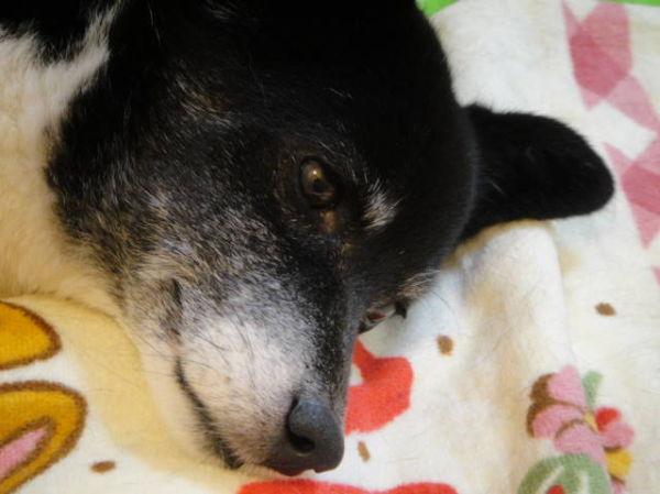 Closeup of Ellie-chan, a Japanese dog