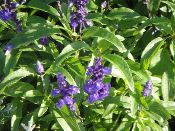 Purple Flowers in Hokkaido