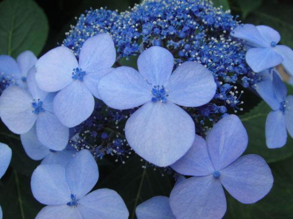 Flowers Hydrangers