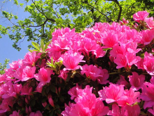 Azaleas in the sun