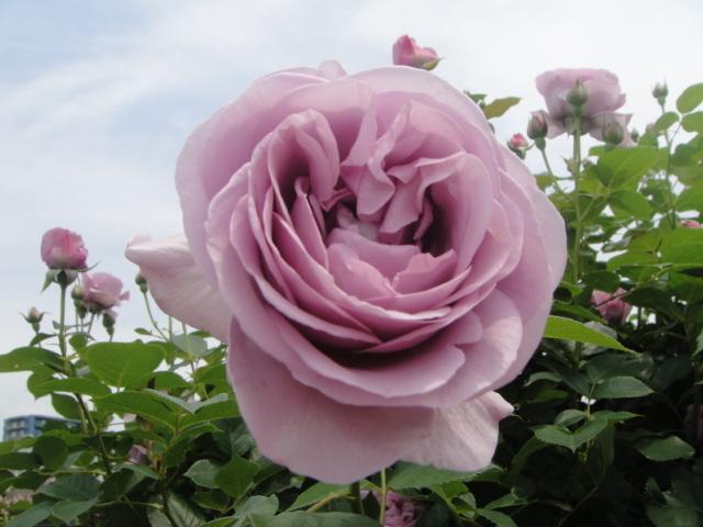 Lovely purple rose