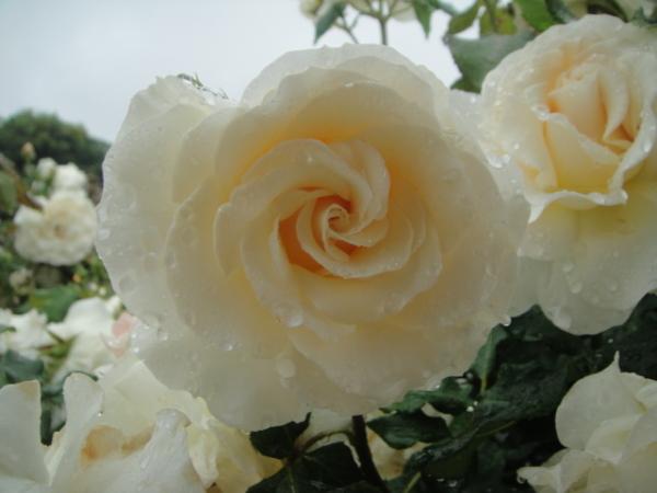 Gentle-looking rose