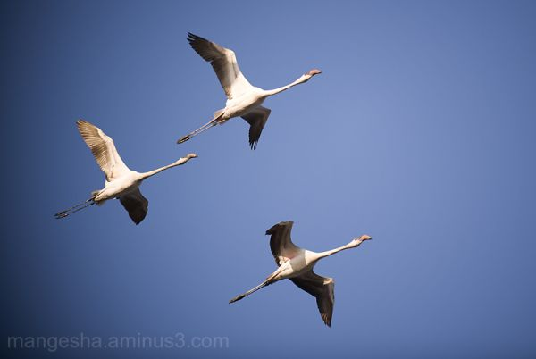Arrival of Flamingos in Mumbai!!