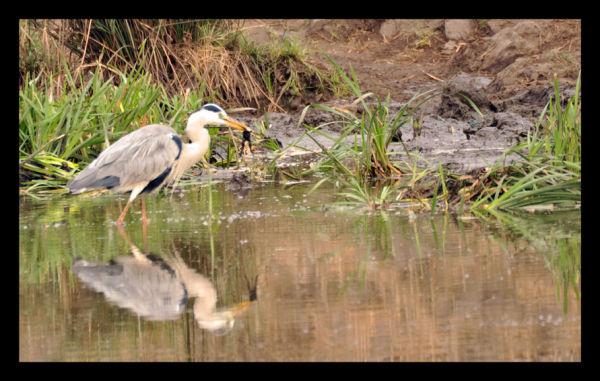 Heron and Frog Kruger National Park