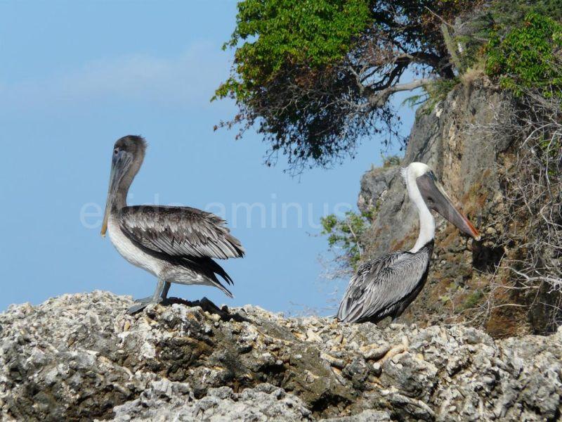 Pelicans on Playa Kalki, Curacao