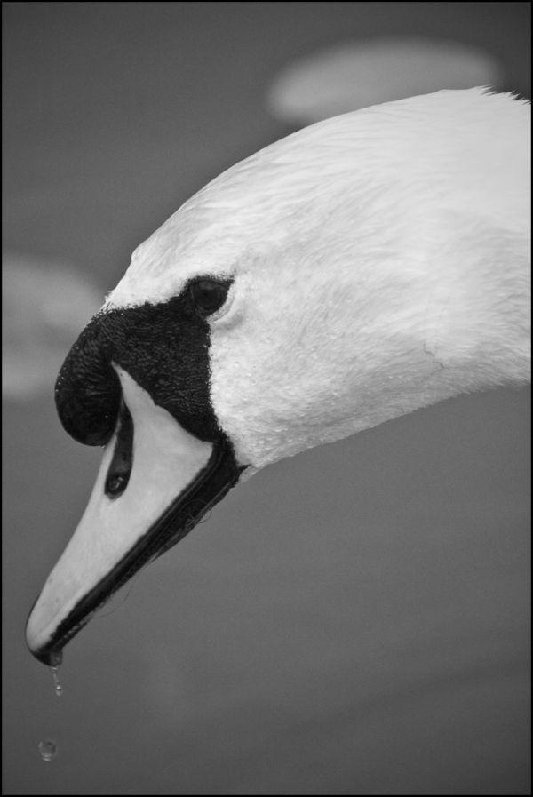 Swan portrait in BW