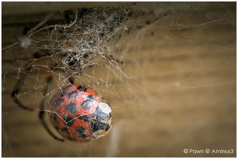 Ladybird caught in a web