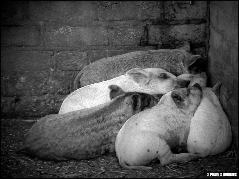 Pigletts in the 'Tiergarten' in Kleve