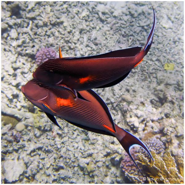 Courting surgeonfish