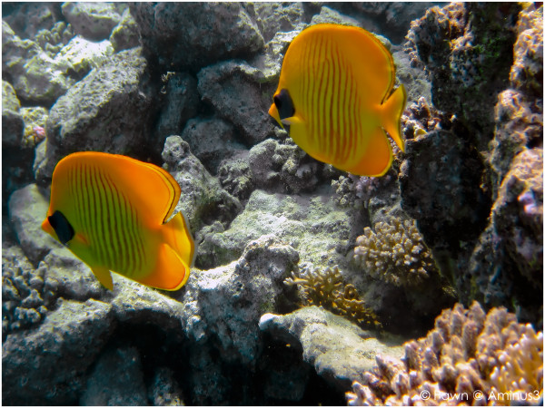 Yellow butterflyfish, they never swim alone