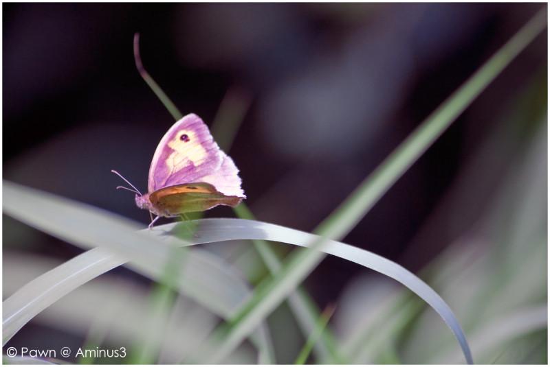 Small heath butterfly