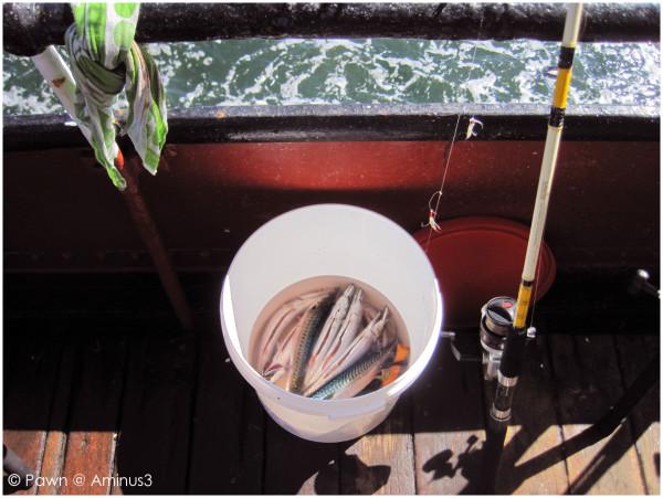 Bucket full of mackerel