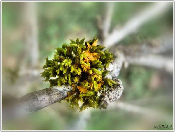 Fleur de mousse