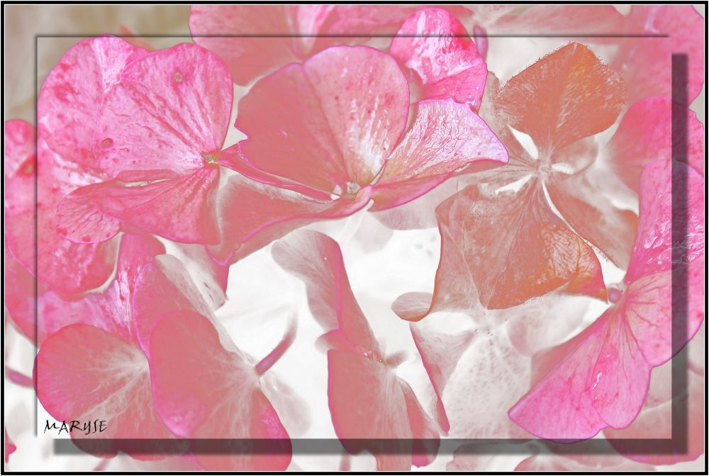 Hortensia Hydrangea rose