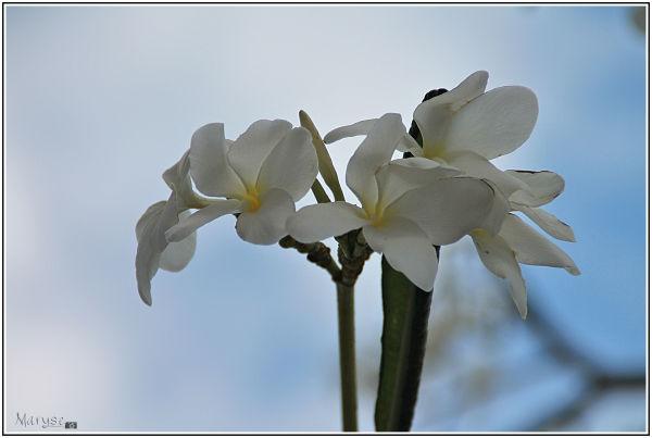 Fleurs de frangipanier (1)