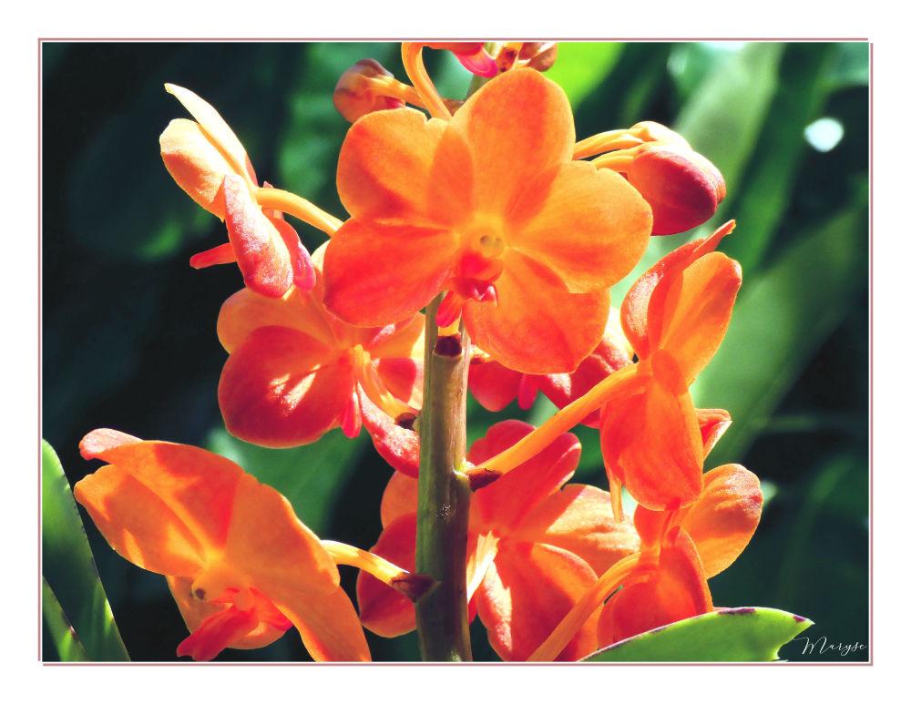 Orchidée Wanda